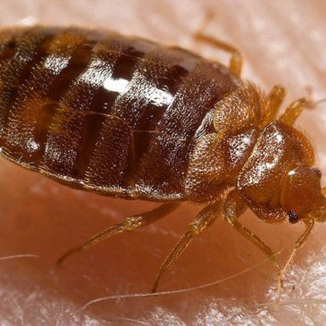 More on Bedbugs!