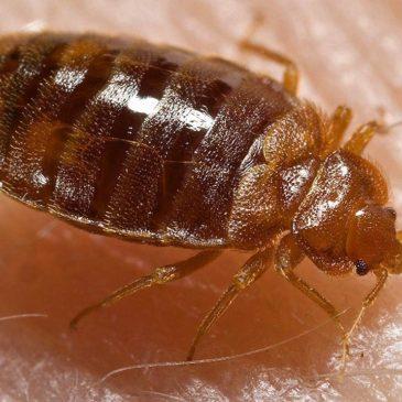 More on Bedbugs!