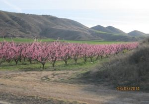 Orchards and blossoms